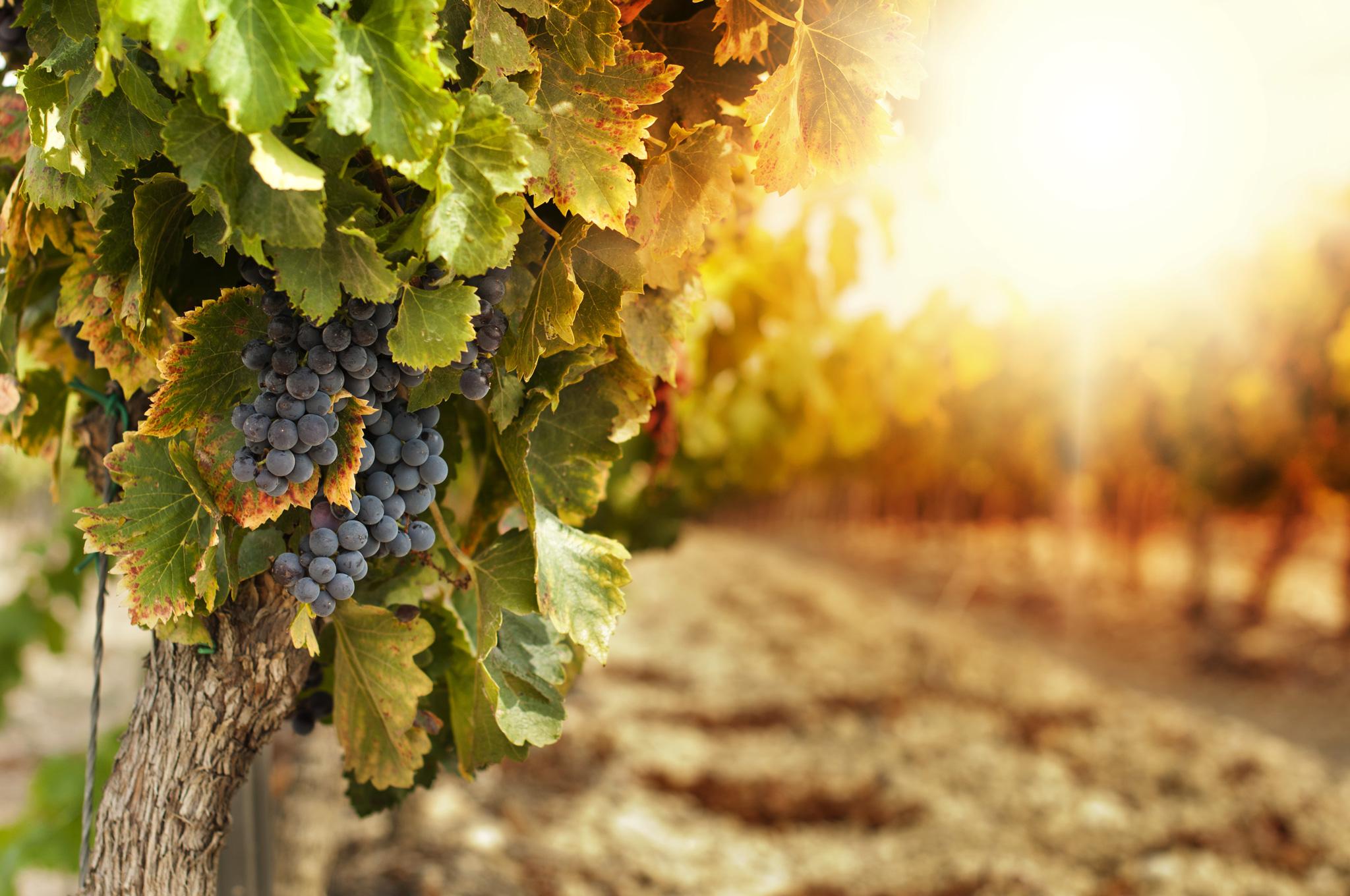 vinohrad-jizni-morava